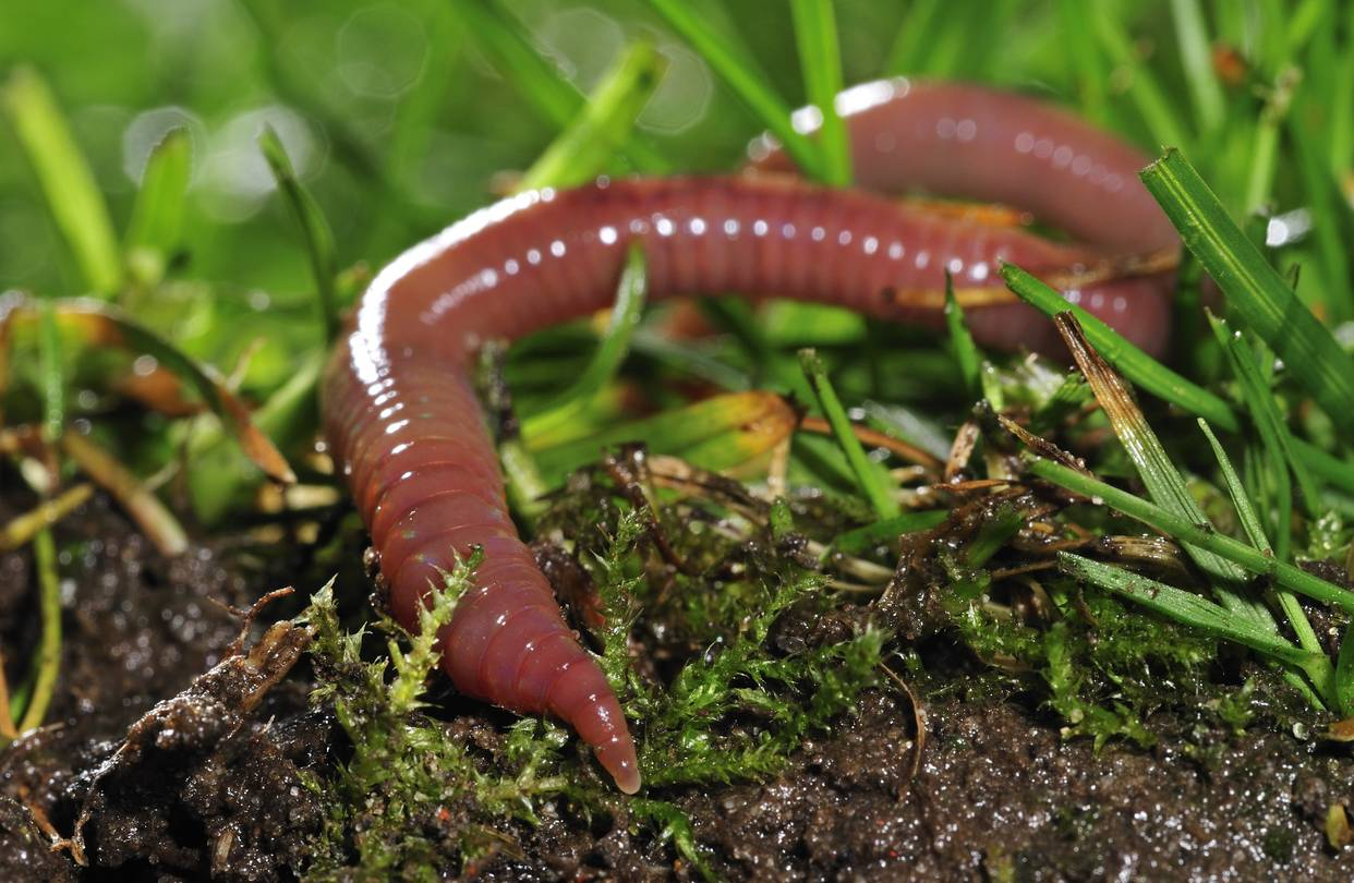 An earthworm in the grass